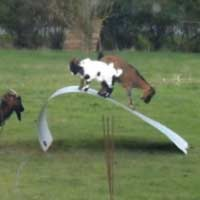 Goats having fun on flexible metal sheet