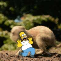 Homer runs from prairie dog