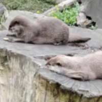 otter-playing-with-stone