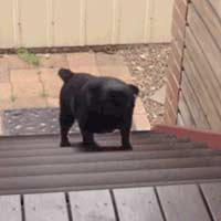 Dog looped walking up stairs